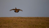 Red Grouse _MG_0418