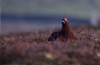 Red Grouse_MG_3012
